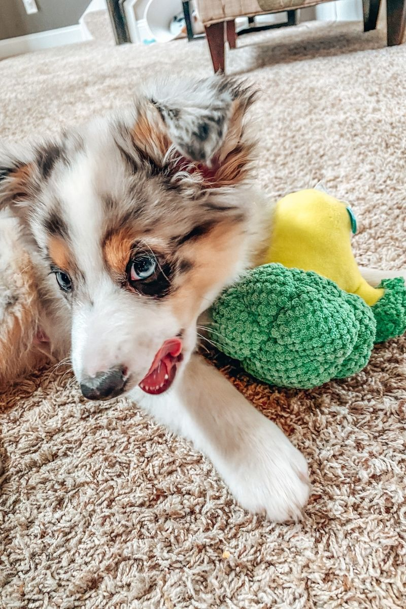 a blue merle australian puppy playing with a broccoli plush toy