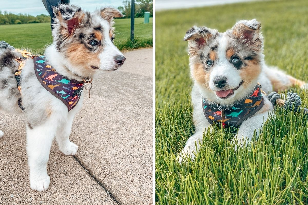 a side by side photo of a blue merle australian puppy wearing a dinosaur harness while out for a walk